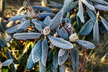 Spoed Fotobehang Azalea Rhododendron (Azalea) under the frost