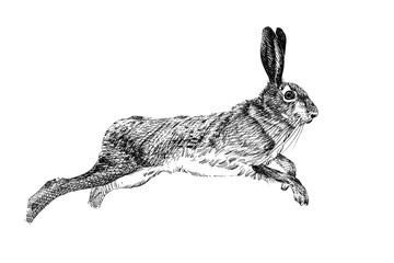Hand drawn hare, sketch graphics monochrome illustration