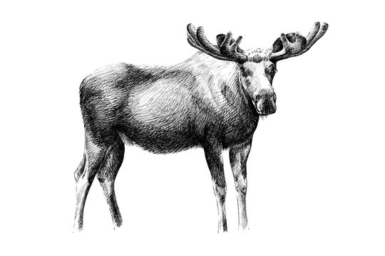 Hand drawn moose, sketch graphics monochrome illustration