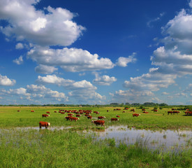 Fototapete - Cows on a green summer meadow