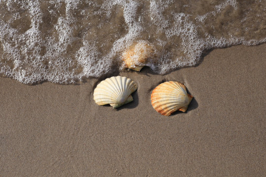 tree Conch shells on beach with waves.