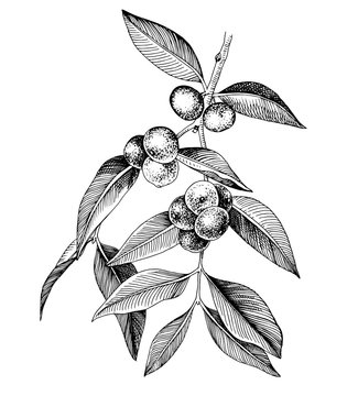 Hand drawn camu camu branch