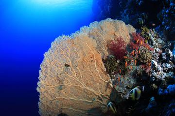 Wall Mural - Gorgonian sea fan coral