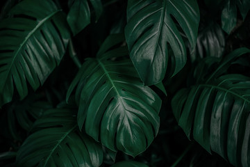 green leaf texture, dark green foliage nature background, tropical leaf Wall mural