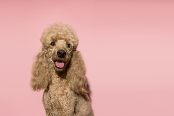 Portrait of brown poodle dog smiling and looking at the camera on a pink background. Copy space