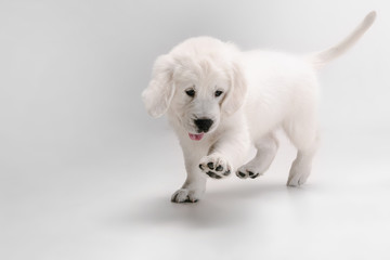 Wall Mural - Catching. English cream golden retriever playing. Cute playful doggy or purebred pet looks cute isolated on white background. Concept of motion, action, movement, dogs and pets love. Copyspace.