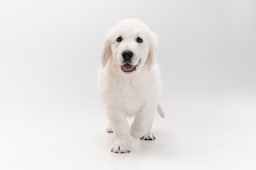 Wall Mural - Best friend. English cream golden retriever playing. Cute playful doggy or purebred pet looks cute isolated on white background. Concept of motion, action, movement, dogs and pets love. Copyspace.