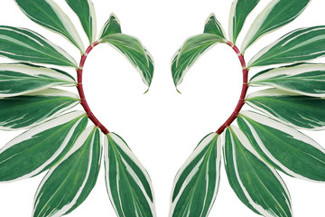 Wall Mural - Tropical leaves pattern abstract love nature backdrop, heart shaped layout of green variegated spiral crepe ginger with red stems (Costus speciosus) the tropic plant on white background.