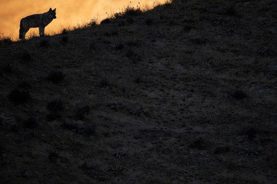 Tibetan wolf in warm backlight