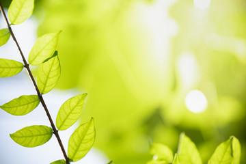 Close up of nature view green leaf on blurred greenery background under sunlight with bokeh and copy space using as background natural plants landscape, ecology wallpaper concept.