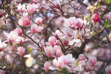 Wall Murals Magnolia magnolia blossom spring garden / beautiful flowers, spring background pink flowers