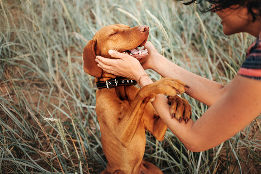 happy vizsla dog portrait with owner hands petting him