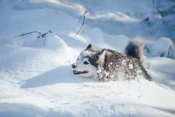 Husky dog in snow Wall mural