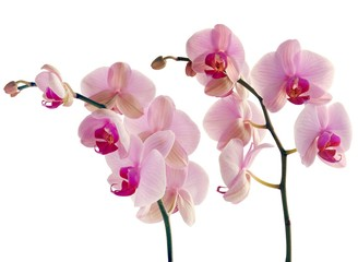 Tuinposter Orchidee pretty pink orchid Phalaenopsis close up isolated