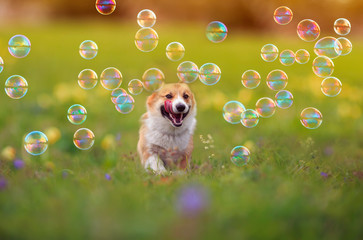 Photo sur Plexiglas Chien cute ginger Corgi dog puppy is running merrily through the green bright meadow with bright soapy shiny bubbles on a Sunny summer day