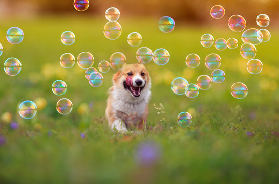 cute ginger Corgi dog puppy is running merrily through the green bright meadow with bright soapy shiny bubbles on a Sunny summer day