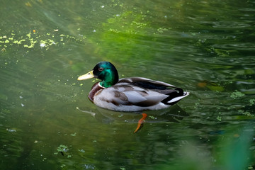 Duck is swimming, garden of the Abbey Saarn