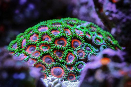 Underwater world.  Zoantharia coral polyps detachment.