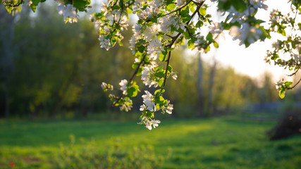 Branches of an apple tree with blooming flowers in the background of a forest and meadow in the evening.