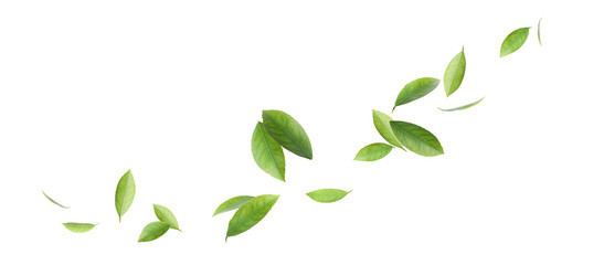 Fresh green citrus leaves on white background