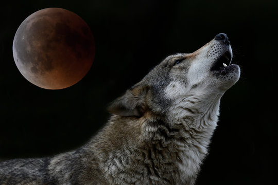 howling wolf in front of full moon - heulender Wolf vor Vollmond