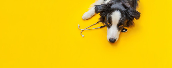 Fotobehang Hond Puppy dog border collie and stethoscope isolated on yellow background. Little dog on reception at veterinary doctor in vet clinic. Pet health care and animals concept Banner