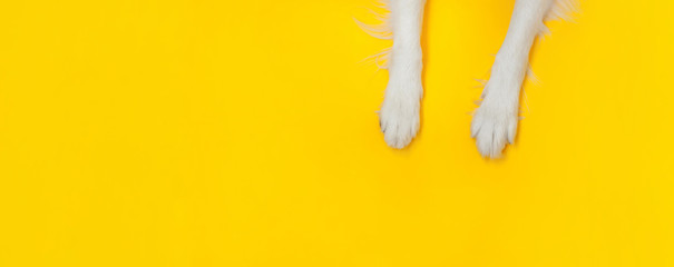 Funny puppy dog border collie paws close up isolated on yellow background. Pet care and animals concept. Dog foot leg overhead top view. Flat lay copy space place for text Banner