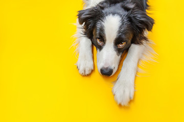 Photo sur Plexiglas Chien Funny studio portrait of cute smilling puppy dog border collie isolated on yellow background. New lovely member of family little dog gazing and waiting for reward. Pet care and animals concept