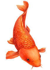 orange koi, carp fish on an isolated white background, watercolor painting