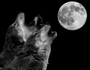 Foto auf Leinwand Wolf howling wolf in front of full moon - heulender Wolf vor Vollmond