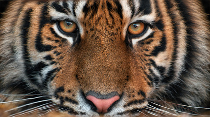 Portrait of a tiger.Young male Amur tiger looks point blank. Symmetrical frontal portrait close-up. Wall mural