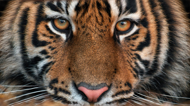 Portrait of a tiger.Young male Amur tiger looks point blank. Symmetrical frontal portrait close-up.