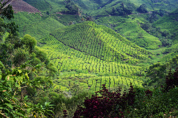 Papiers peints Kaki tea plantation