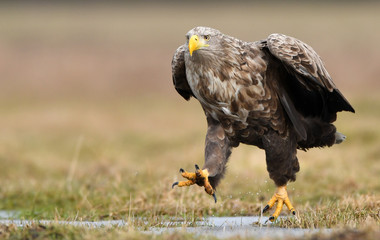 Photo on textile frame Eagle White tailed eagle (Haliaeetus albicilla)
