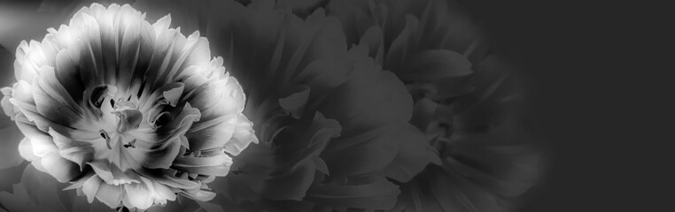 Photo sur Plexiglas Tulip Tulip on a textured background. Condolence card. Empty place for emotional, sentimental text or quote. Black and white image