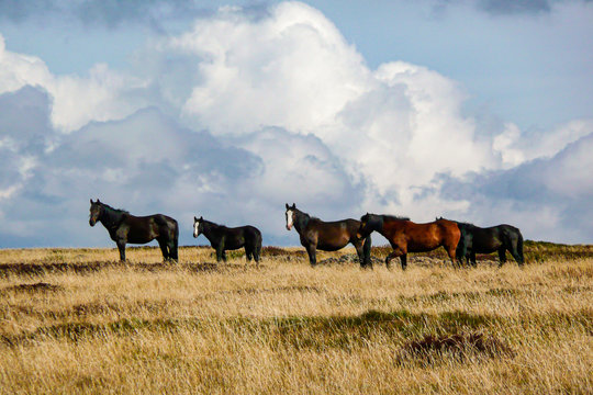 Wild Horses (Brumbies) - Bogong High Plains - Victorian High Country