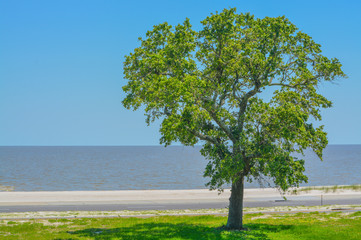American Elm (Ulmus Americana) City of Long Beach, Harrison County, Mississippi USA