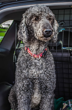 Grey Standard Poodle Looking out of the back of a car