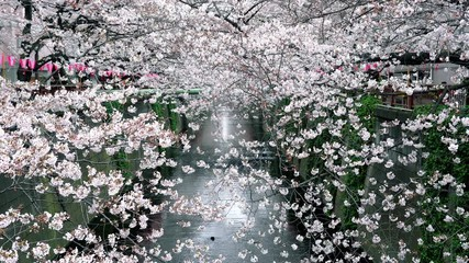 Wall Mural - Cherry blossom in spring, Japan.