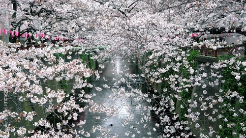 Wall mural Cherry blossom in spring, Japan.