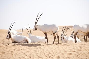 Spoed Foto op Canvas Antilope Arabian oryx walking in the desert dunes in the Middle East.