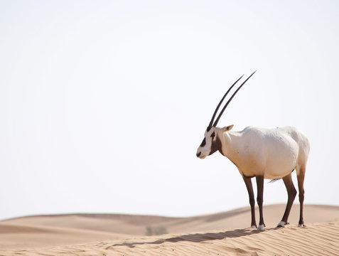 Arabian oryx walking in the desert dunes in the Middle East.