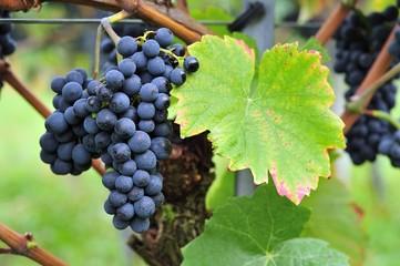 Pinot Noir Spaetburgunder Red Wine Grape Fototapete