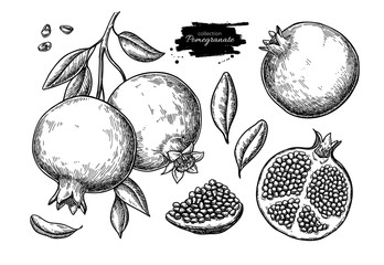 Pomegranate vector drawing. Hand drawn tropical fruit illustration.