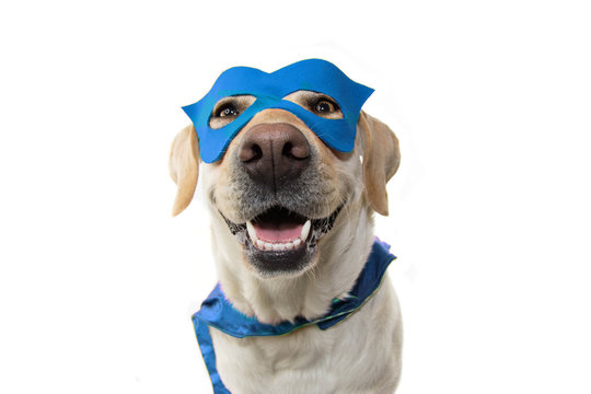 DOG SUPER HERO COSTUME. LABRADOR CLOSE-UP WEARING A BLUE MASK AND A CAPE.  CARNIVAL OR HALLOWEEN. ISOLATED ON  WHITE BACKGROUND.