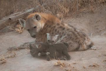 Fotobehang Hyena hyena in serengeti national park tanzania africa