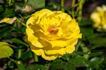 Rosa 'Korlillub' a yellow double flower summer autumn season plant