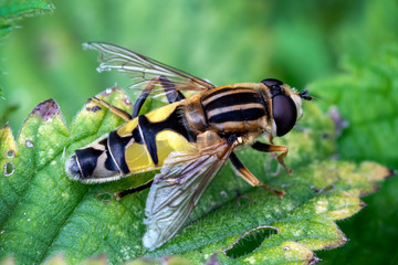 Hoverfly (Helophilus pendulus) a common insect flying species found in the UK and commonly known as sun fly