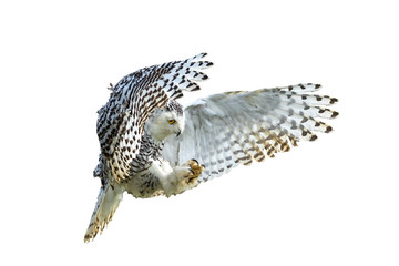 Snowy Owl with its wings outspread in flight cut out and isolate on a white background