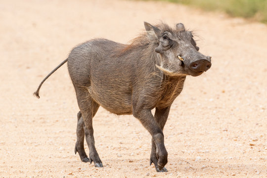 Cheeky warthog